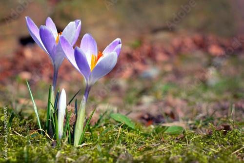 Leinwandbild Motiv Purple crocus on blurry grass background during early spring