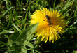 Dandelion in the spring
