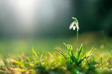 Snowdrop in spring on a sunny day