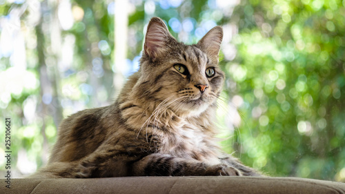 Maine Coon cat - 252106621