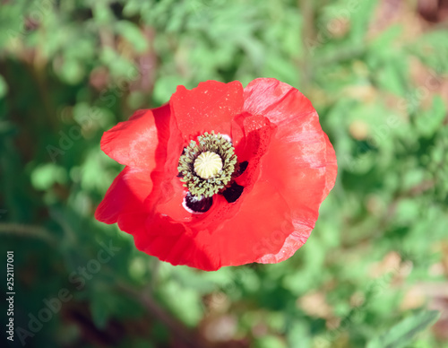 Red poppy kwiat maku mak - 252117001