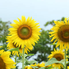 sunflower blooming in nature garden, beautiful yellow flower blossom in morning day of springtime