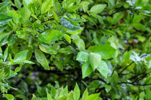 obraz PCV background of green leaves
