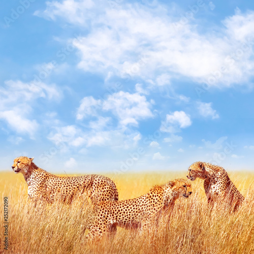Group of cheetahs in the African savannah. Africa, Tanzania, Serengeti National Park. Square image. Copy space.