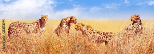 Group of cheetahs in the African savannah. Africa, Tanzania, Serengeti National Park. Banner design. Wild life of Africa.