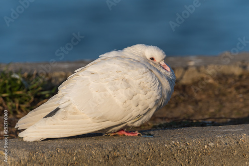 A White Pigeon Being Warmed by the Sun in the Morning   Buy Photos