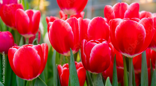 mata magnetyczna Beautiful red tulips. The beginning of the spring holidays. Background for greeting cards.