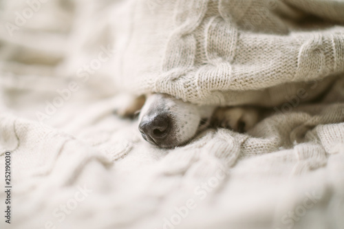 Leinwanddruck Bild Dog nose under the blanket. sick ill flu dog nose in bed. Cozy home recovering