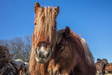 Fototapeta Konie - pferde © haiderose