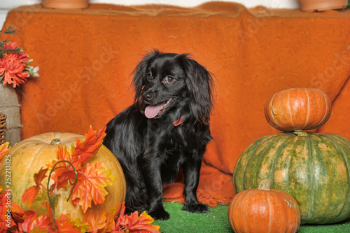 little black dog on an orange autumn background with maple leaves and pumpkin - 252213825