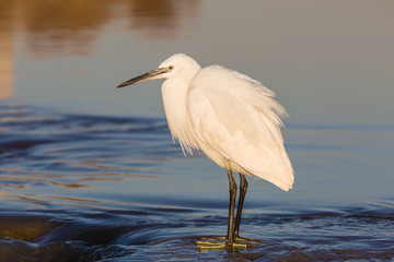 Small white Heron catches small fish in the water