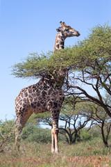 giraffe next to tree
