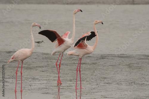 mata magnetyczna Greater flamingo (Phoenicopterus roseus). Ras Al Khor Wildlife Sanctuary. Dubai. UAE