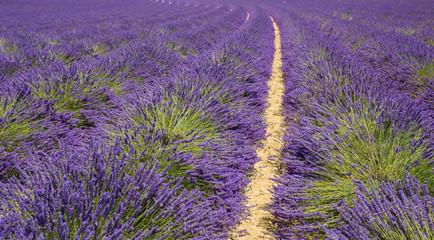 Campi di Lavanda a Provence