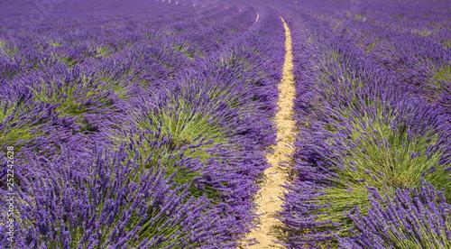Campi di Lavanda a Provence - 252242628