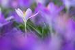 Leinwanddruck Bild - Frühlingsboten: violette Krokusse freigestellt