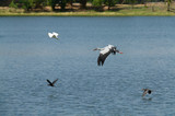 Stork egret and teal bird in flight over calm lake