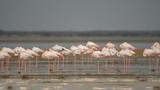 Greater flamingo (Phoenicopterus roseus). Ras Al Khor Wildlife Sanctuary. Dubai. UAE