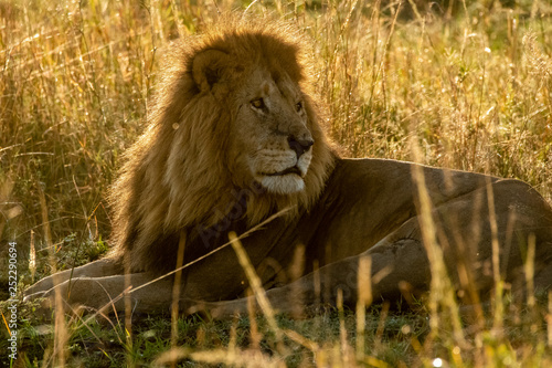A lone lion relaxing in the high grasses in early morning light inside Masai Mara National reserve during a wildlife safari