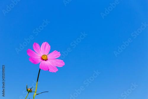 Pink flower kosmeya against a blue sky background. Copy space_ - 252300823