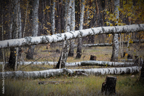 Fallen trees in the autumn birch grove - 252301682