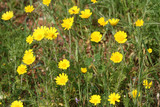 Yellow daisies in the field
