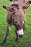 Young Donkey Looking Down