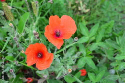 Red poppy. - 252332831