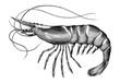 Antique engraving illustration of Shrimp black and white clip art isolated on white background