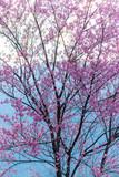 Macro Flower Prunus cerasoides