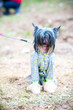 Chinese crested dog in summer