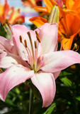 Lilies in the garden close up