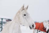 Fototapeta Konie - White horse © IRIS Productions