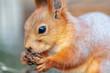 Leinwandbild Motiv Squirrel eating in the park