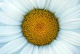 Fresh daisy flower