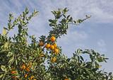 Ripe tangerines on tree