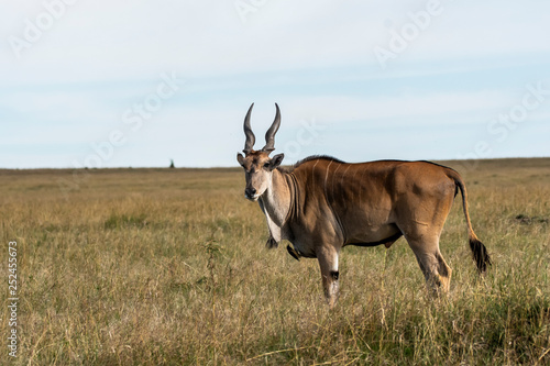 A common eland grazing in the grasslands of Masai Mara National Reserve during a wildlife safari