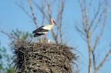 Pair of White Storks (Ciconia ciconia) nesting in the floodplains near river Morava, Slovakia