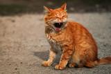 street yawning red cat