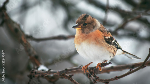 Gray-red finch reel on winter background. Close-up. Unrecognizable place. Selective focus © 5ph