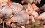 Flamingos stehen schlafend eng zusammen
