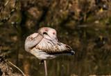 Ein junger Flamingo reinigt seine Federn