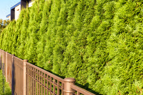 Leinwandbild Motiv Green fence of thuja trees close-up. Hedge of home garden in backyard. Natural coniferous abstract background.