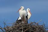 cicogne al nido
