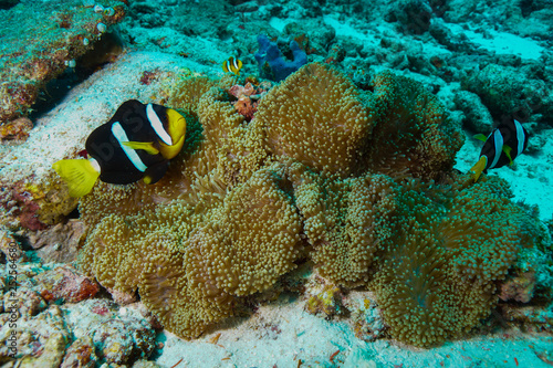mata magnetyczna Anemone Coral and fish at the Maldives