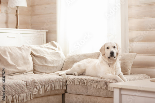 Leinwandbild Motiv Cute big white dog lies on a sofa in a cozy country house and looks into the camera. Concept of happy pets