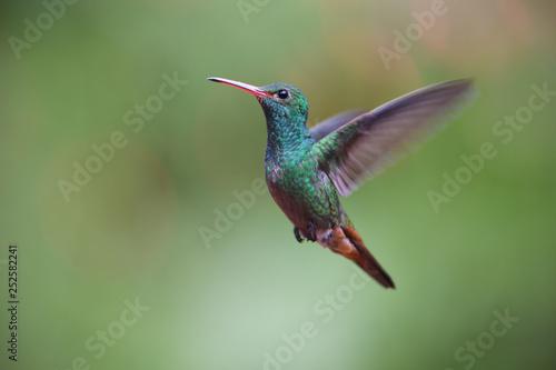 Rufous-tailed hummingbird flying