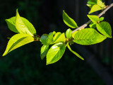 Fresh young leaves of a cherry tree against dark background