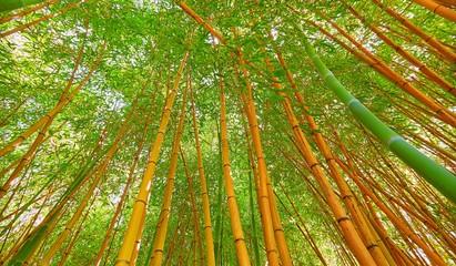 Wide angle vbrant view of bamboo in Sochi © boligolovag