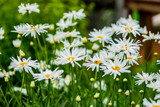 Spring camomiles in a green garden, summer flowers